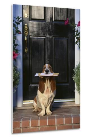 Basset Hound Waiting with the Mail-DLILLC-Metal Print