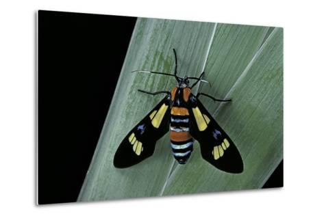 Euchromia Folletii (South African Day-Flying Moth)-Paul Starosta-Metal Print