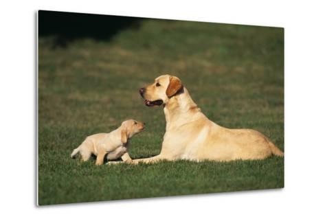 Labrador Mother and Puppy-DLILLC-Metal Print