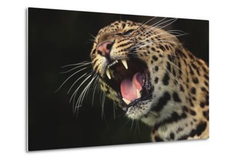 Leopard Growling-DLILLC-Metal Print