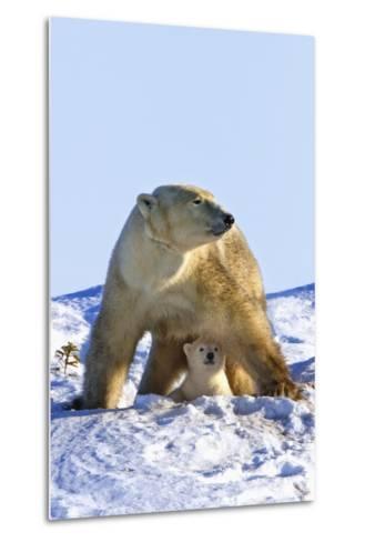 A Mother Polar Bear (Ursus Maritimus) with Her Cub in Wapusk National Park; Churchill-Design Pics Inc-Metal Print