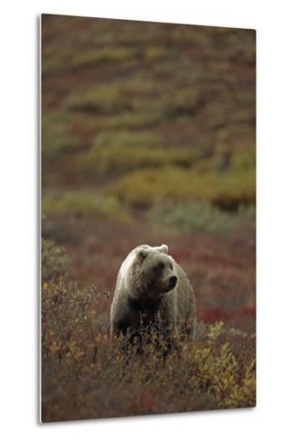 Grizzly on Autumn Tundra Highway Pass Denali Np Ak In-Design Pics Inc-Metal Print