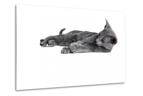 Blue Russia Cat-Fabio Petroni-Metal Print