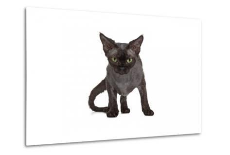 Devon Rex Cat-Fabio Petroni-Metal Print