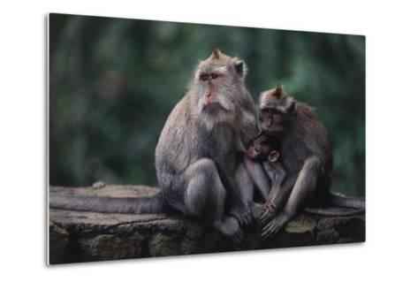 Indonesia, Bali, Ubud, Long Tailed Macaque in Monkey Forest Sanctuary-Paul Souders-Metal Print