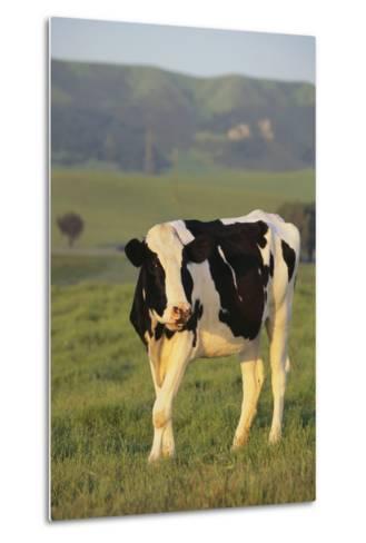 Holstein Cow-DLILLC-Metal Print