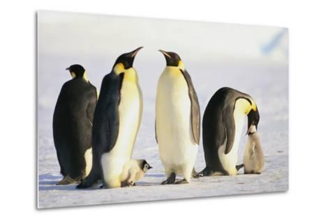 Group of Penguins-DLILLC-Metal Print