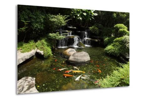 Japanese Variegated Carps Swimming in Garden Pond-eskay lim-Metal Print