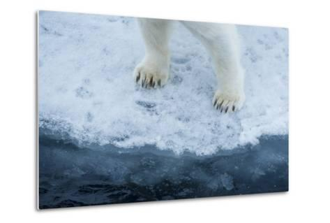 A Close Up of Polar Bear Front Feet and Legs, Standing on the Edge of Drift Ice-Michael Melford-Metal Print
