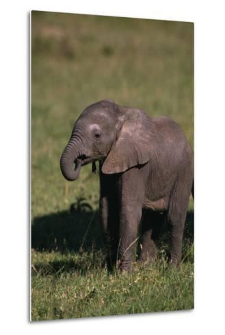 Baby Elephant Curling up its Trunk-DLILLC-Metal Print