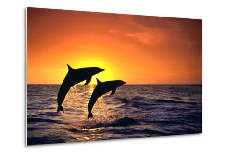 Bottlenosed Dolphins Leaping at Sunset-DLILLC-Metal Print