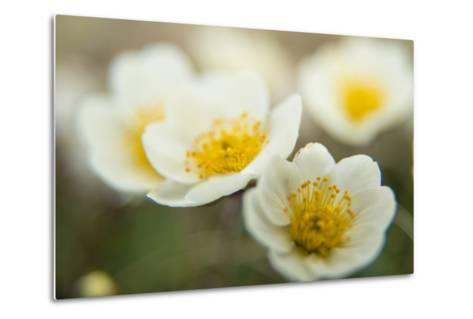 A Close Up of White Dryas Flowers-Michael Melford-Metal Print