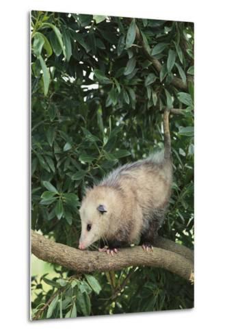 Opossum in Tree-DLILLC-Metal Print