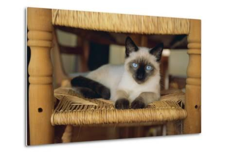 Siamese Cat Lounging on Dining Room Chair-DLILLC-Metal Print