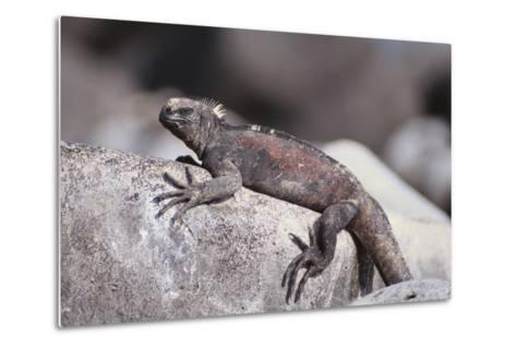 Marine Iguana-DLILLC-Metal Print