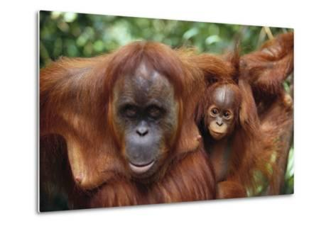 Mother and Young Orangutan-DLILLC-Metal Print