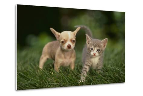 Chihuahua Puppy and Kitten-DLILLC-Metal Print