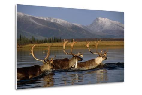 Caribou Herd Swimming across Kobuk River Arctic Alaska Autumn Kobuk Valley National Park-Design Pics Inc-Metal Print