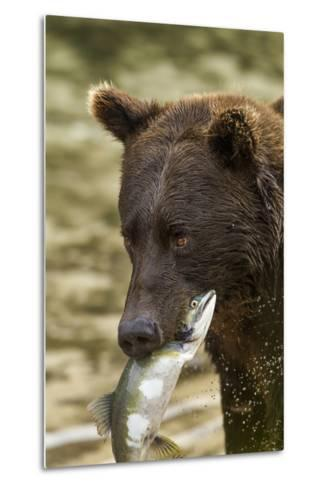 USA, Alaska, Katmai NP, Coastal Brown Bear eating salmon.-Paul Souders-Metal Print