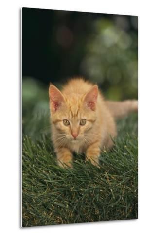 Kitten Crouching in Grass-DLILLC-Metal Print