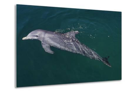 Bottlenosed Dolphin Swimming-DLILLC-Metal Print