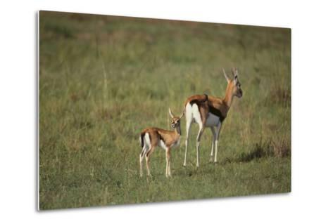 Thomson's Gazelle and Young-DLILLC-Metal Print