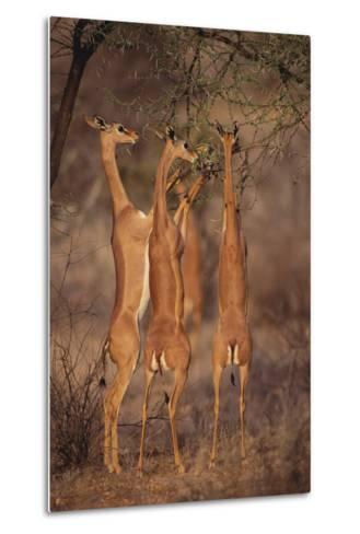 Gerenuk Feeding on Acacia Trees-DLILLC-Metal Print