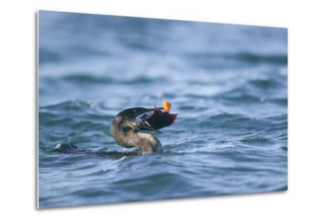 Flightless Cormorant Eating a King Angelfish-DLILLC-Metal Print