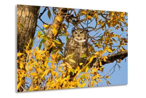 Great Horned Owl sleeping in cottonwood.-Larry Ditto-Metal Print