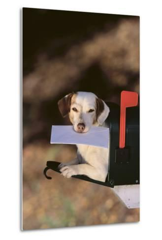 Jack Russell Terrier Fetching the Mail-DLILLC-Metal Print
