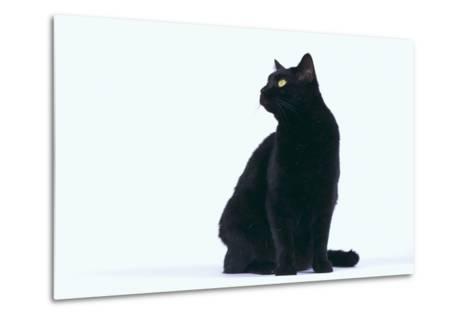 Black Cat-DLILLC-Metal Print