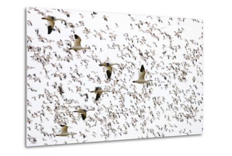 Geese Flying in Formation-DLILLC-Metal Print