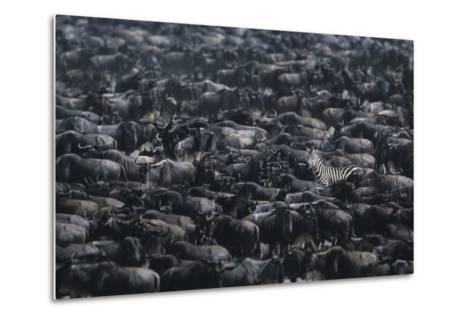 Zebra among Wildebeest Herd-DLILLC-Metal Print