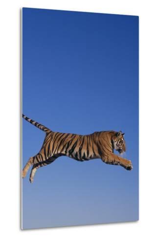 Bengal Tiger Jumping-DLILLC-Metal Print