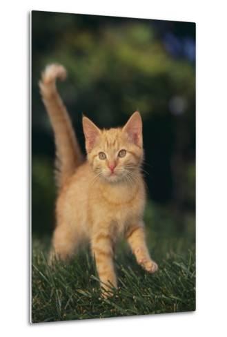 Playful Kitten-DLILLC-Metal Print