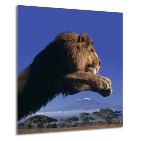 Leaping Male Lion-DLILLC-Metal Print