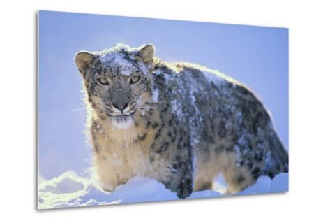 Snow Leopard Covered in Snow-DLILLC-Metal Print