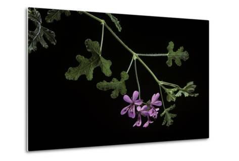 Pelargonium Quercifolium (Oakleaf Geranium)-Paul Starosta-Metal Print