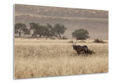 An Orix Grazing in the Namib-Naukluft National Park at Sunset-Alex Saberi-Metal Print