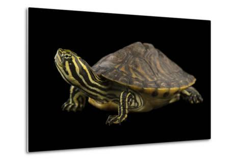 A Peninsula Cooter at the National Mississippi River Museum and Aquarium in Dubuque, Iowa-Joel Sartore-Metal Print
