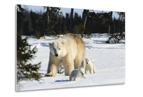 Polar Bear (Ursus Maritimus) Sow and Cubs Walking in Wapusk National Park; Churchill-Design Pics Inc-Metal Print