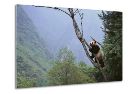Panda Climbing Tree-DLILLC-Metal Print