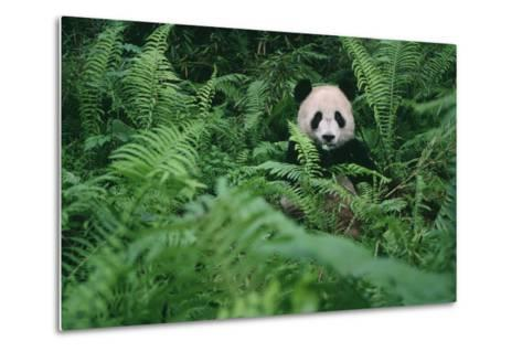 Giant Panda in Forest-DLILLC-Metal Print