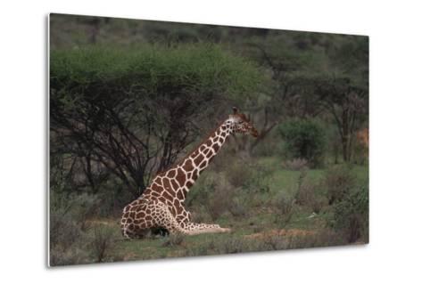 Reticulated Giraffe Resting-DLILLC-Metal Print