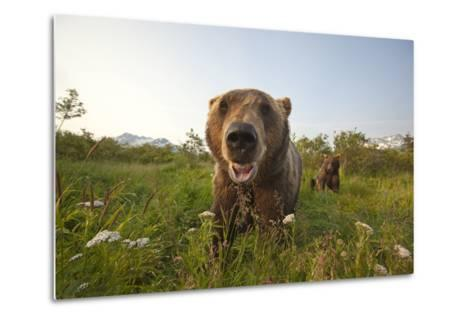 Captive Grizzlies at the Alaska Wildlife Conservation Center Near-Design Pics Inc-Metal Print