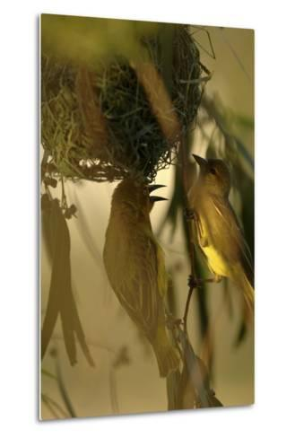 Cape Weaver Birds Building a Nest in South Africa-Keith Ladzinski-Metal Print