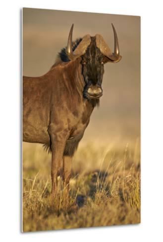 Black Wildebeest (White-Tailed Gnu) (Connochaetes Gnou)-James Hager-Metal Print