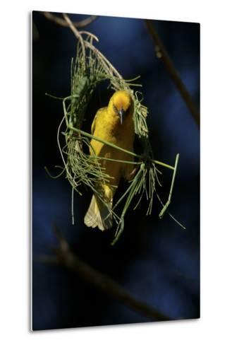 A Cape Weaver Bird Builds a Nest in South Africa-Keith Ladzinski-Metal Print