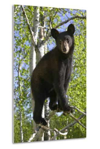 Black Bear Cub in Tree Minnesota Forest Captive Summer-Design Pics Inc-Metal Print