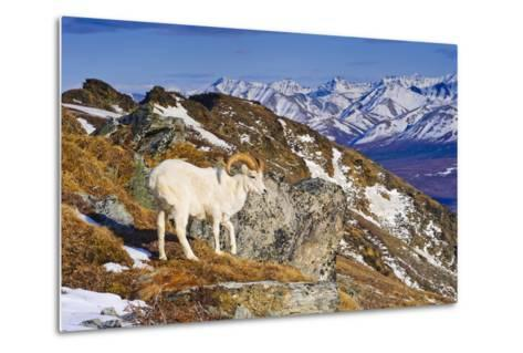 An Adult Dall Sheep Ram Standing on Mount Margrett with the Alaska Range in the Background-Design Pics Inc-Metal Print